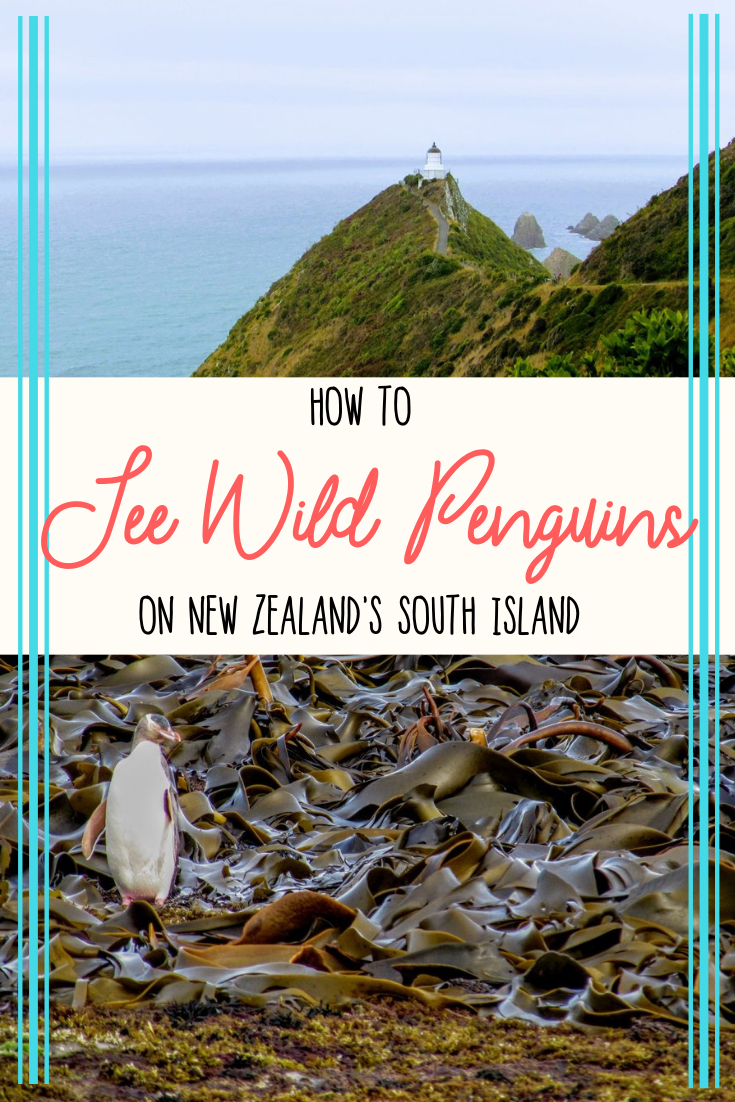 How to find penguins on New Zealand's South Island | Wildlife in New Zealand | Penguins New Zealand | New Zealand Travel on a Budget #newzealand