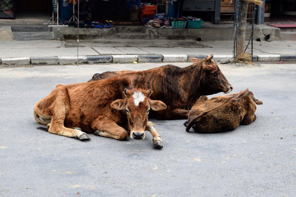 Three cows asleep on the street in Pokhara, Nepal.