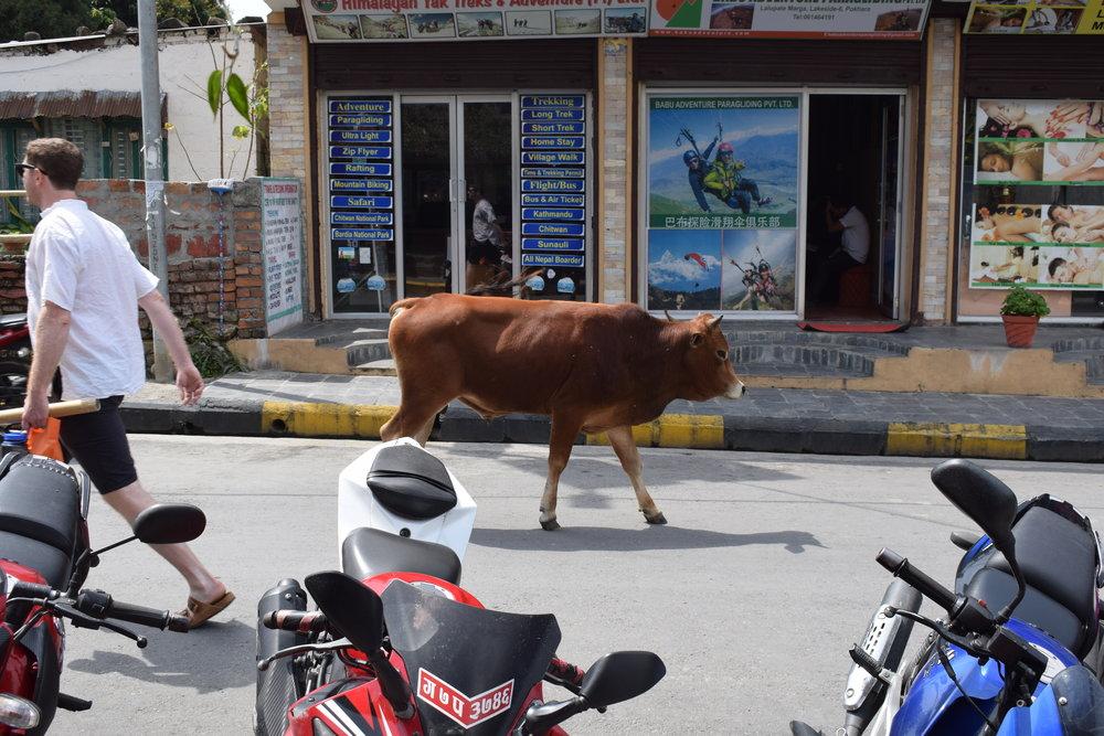 streetcows2.jpg