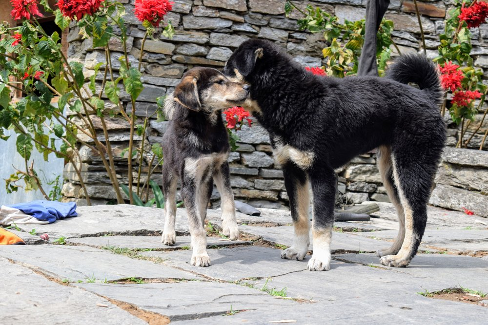 puppies playing in a village in annapurna region, nepal