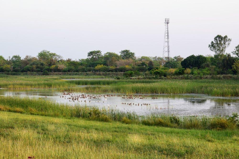 Waterfowl on a marsh in Lumbini.