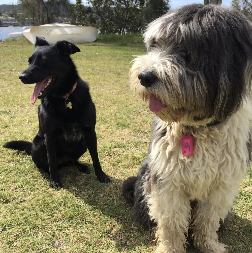 Kelpie & Old English Sheep Dog  Lexi & Baxter - inseparable soul mates