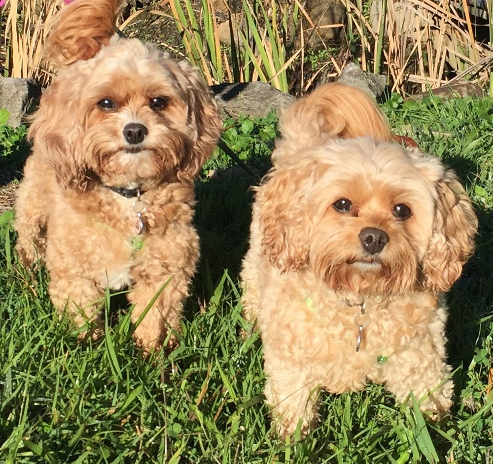 Cavoodles & t iny cuties, Millie & Chloe, everyone falls in love with them