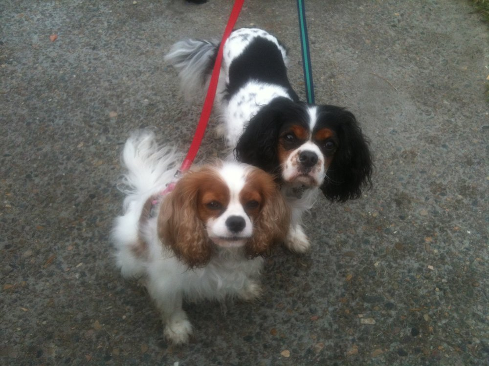 King Charles Cavaliers, needed lots of love, and got it