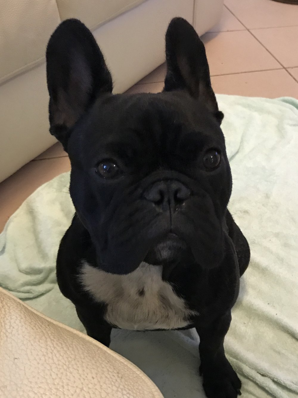 French Bulldog Douglas - cute right?!