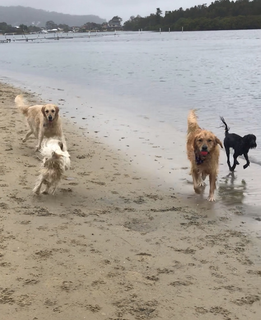 Golden Retrievers Charlie on the left, Herbie on the right, Kuro Cavoodle in the water plus a random!