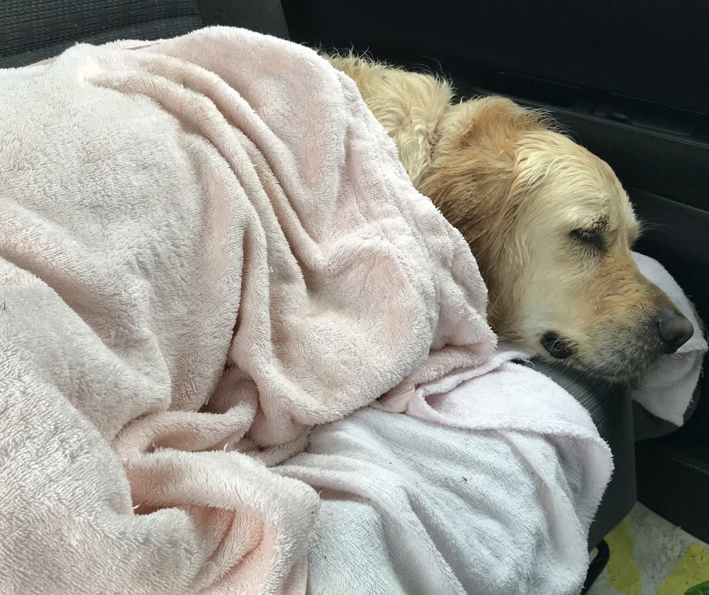 Charlie the Golden Retriever, asleep the second he got into the car to go home!