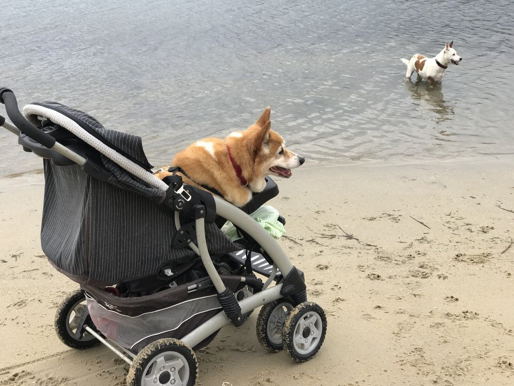 Corgi Becky is 12 and has a neurological disorder meaning she cannot stand or walk much these days. But she still loves to be out and about.