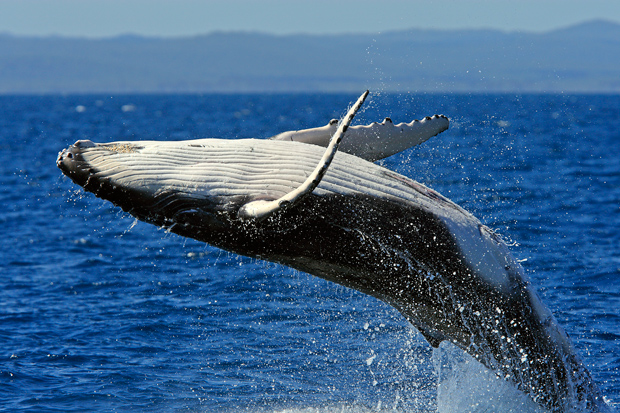 humpback-whale.jpeg