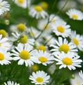 matricaria-daisy.jpg