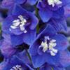 blue-delphinium-flower.jpg