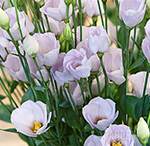 Lisianthus-Fioretti-Lavender.jpg