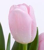 pale-pink-tulip.jpg