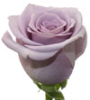 ocean-song-lavender-rose.jpg