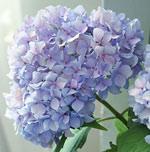 lavender-hydrangea.jpg