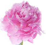 pale-pink-peony.jpg