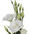Lisianthus-White.jpg
