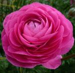 hot-pink-ranunculus.jpg