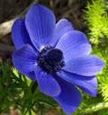 blue-anemone.jpg