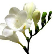 white-freesia-flower.jpg
