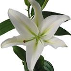 white-oriental-lily.jpg