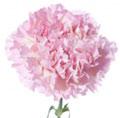 pale-pink-standard-carnation.jpg