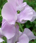 lavender-sweet-pea.jpg
