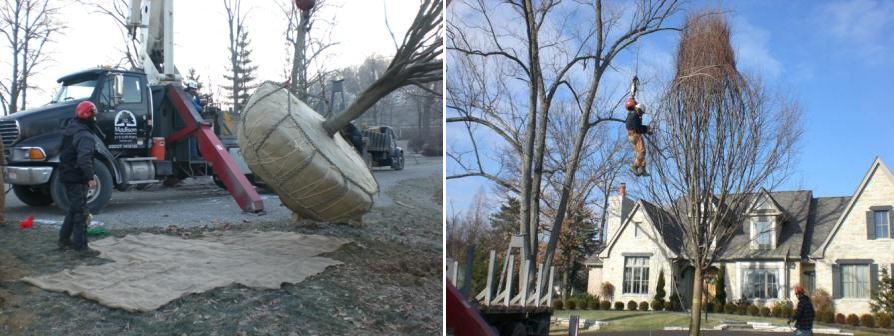Large Tree Instillation - Before & After