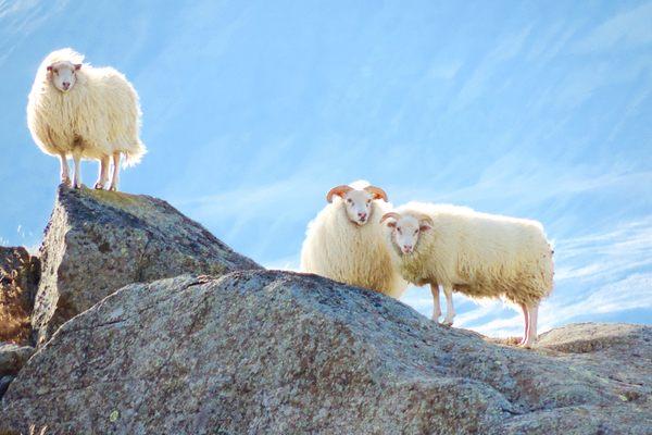 Iceland-sheep.jpg