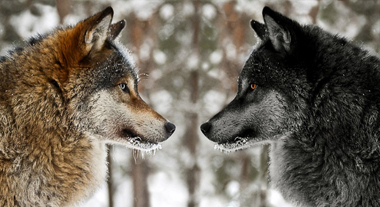 STORY The story of the two wolves is believed by many to be an old Cherokee legend. Others believe it to be of Nordic origin.. EXPLORE