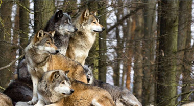 WHY WE CARE     Wolves are part of the foundation of our company. Their survival is critical to keeping the balance in nature and our eco system.   We care about this and so should you, learn why…      EXPLORE
