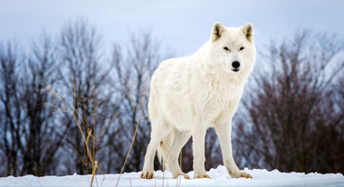 ARCTIC WOLF This is one of our namesakes, and one of the main reasons that we are involved in habitat preservation as due to global warming theirs is disappearing. EXPLORE