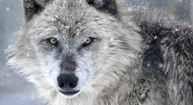 GREY WOLF Grey Wolves are the most common wolves in Canada. Their range extends from the Rocky Mountains to Eastern Ontario, and north to the Nunavit border. EXPLORE