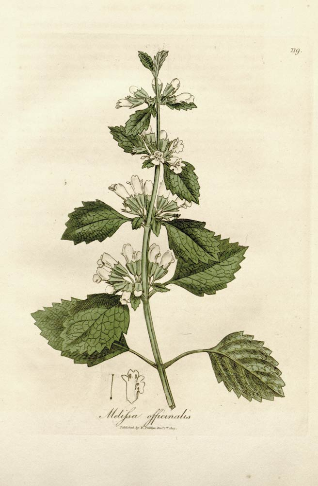 Lemon Balm: The flower that holds the power