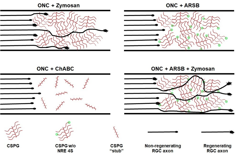Using the enzyme arylsulfatase B (ARSB) to remove sulfate groups (4S) from the ends of chondroitin sulfate proteoglycans (CSPGs) enhanced RGC axon regeneration in the presence of an intrinsic pro-regenerative stimulus (Zymosan). Modification of the CSPGs alone, with ARSB or a similar enzyme, ChABC, was insufficient to stimulate regeneration. Intrinsic modification of RGCs with Zymosan and other stimuli combined in an additive fashion to collectively promote axon regeneration, especially in combination with ARSB.