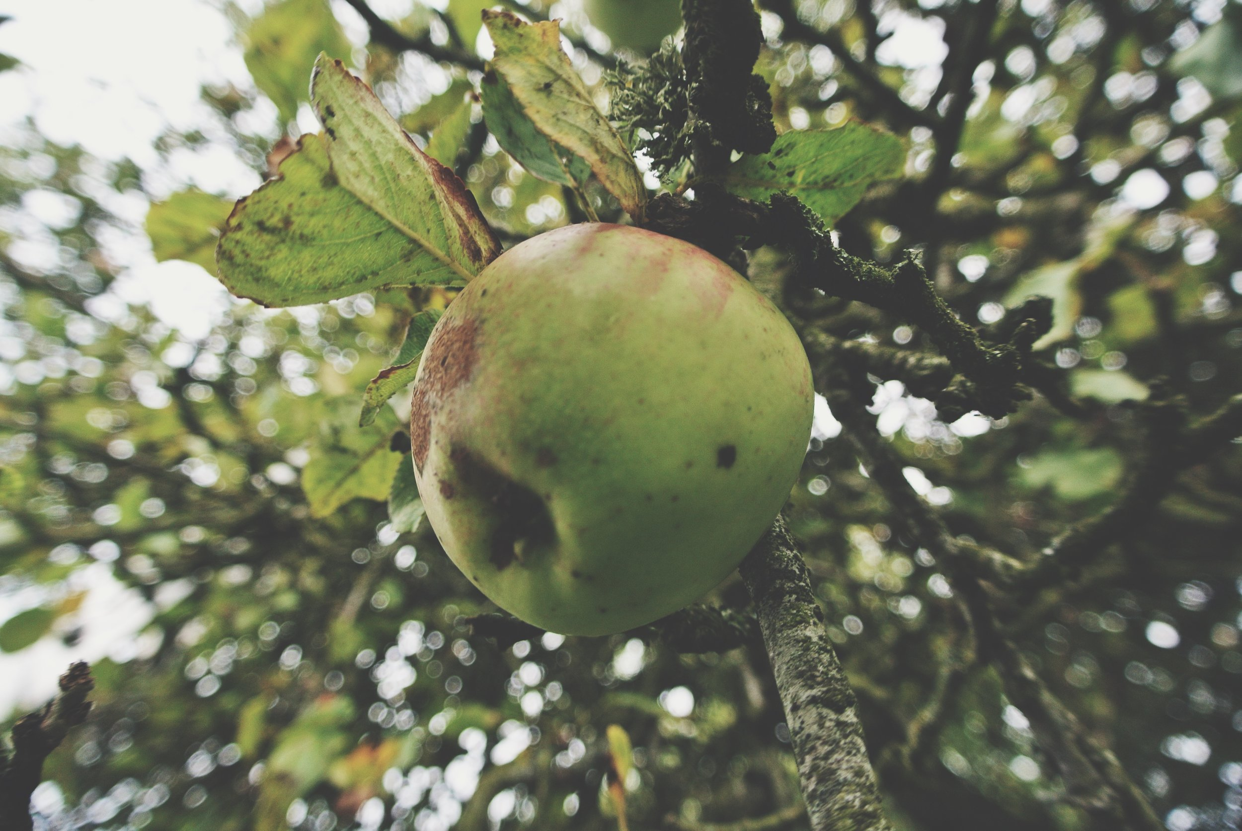 Apple Picking County Armagh