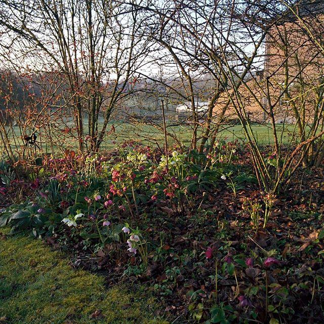 Hellébores en ce début de printemps... Beaucoup sont issues de semis spontanés. #Helleborus #spring #flower #garden #landscapearchitecture  #larg #countryside