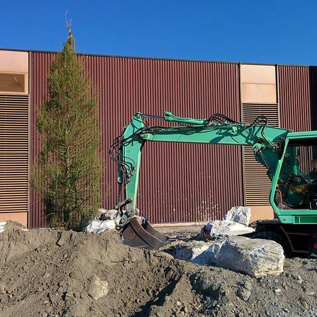 First plantation - Larix decidua - #larg #landscapedesign #landscapearchitecture #martigny #bringthemountaintothevalley #plantation #tree #larix #landscapeconstruction #constructionsite