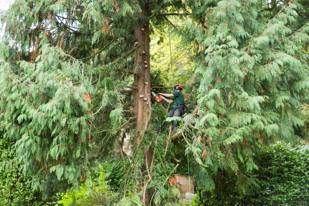 Now secure in the tree, the surgeon can now begin to reduce the tree before it is fell