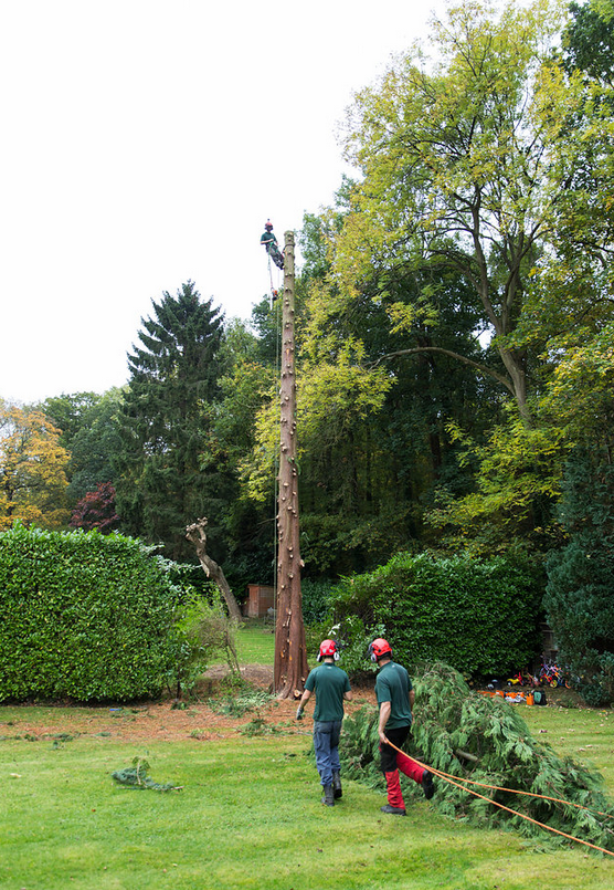 The tree is pulled to the ground safely with guide rope to keep us in control of the fall