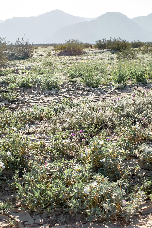 fizz-fade-super-bloom-desert-8.jpg
