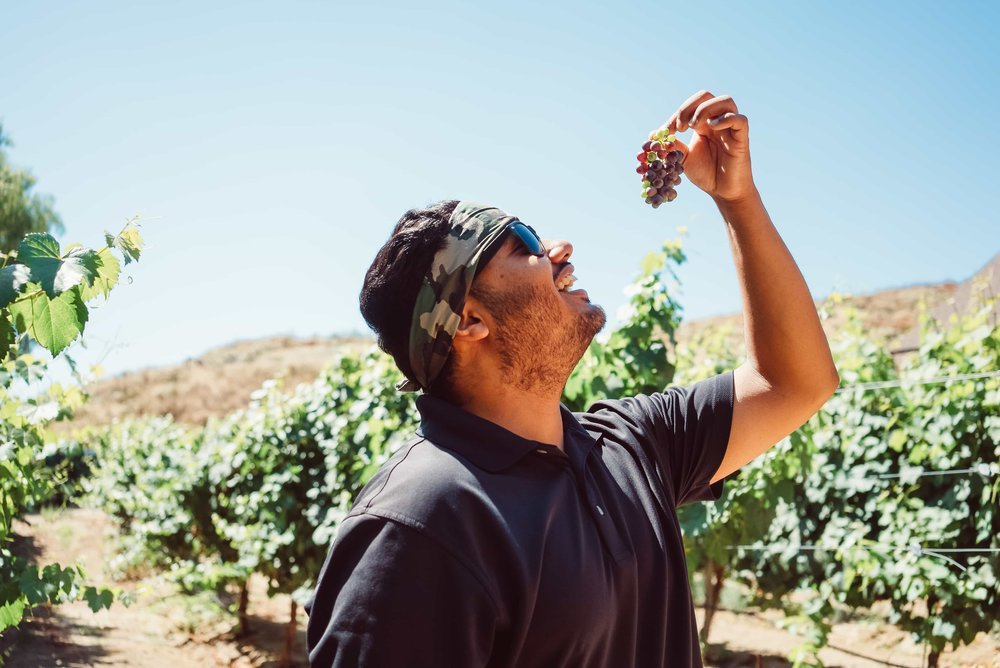 Man eating grapes during Temecula Harvest Season