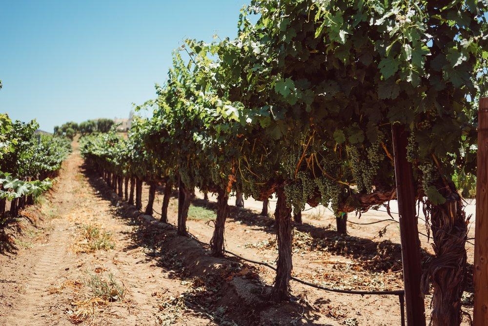 Temecula-grape-vines