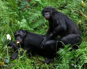 Monkies mating