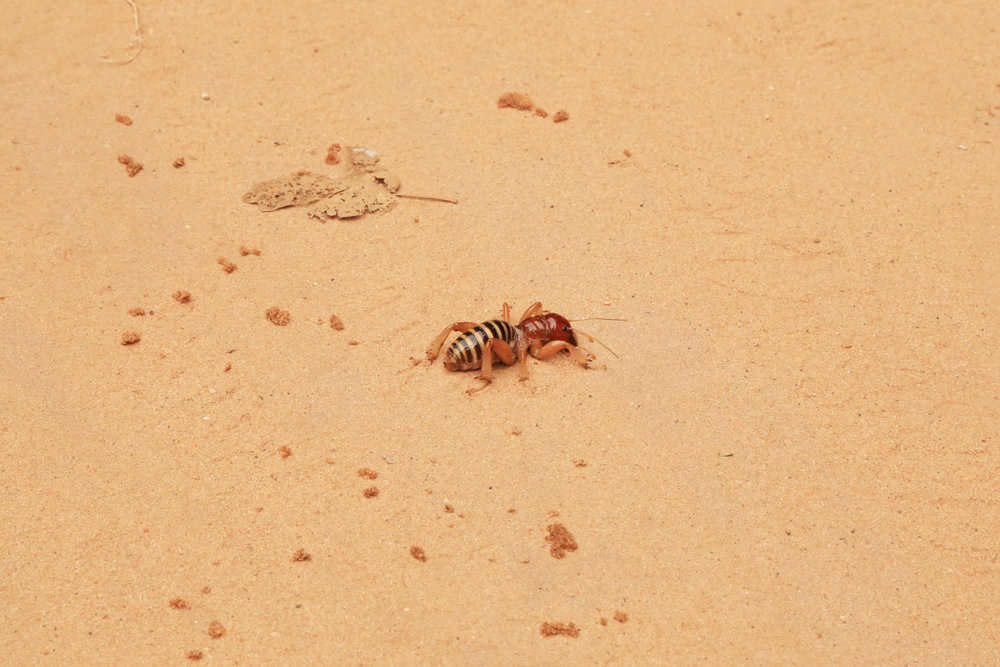 zion-potato-bug.jpg