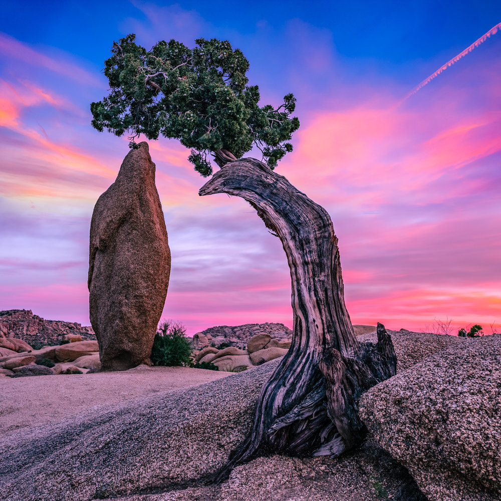 Juniper Tree, Joshua Tree
