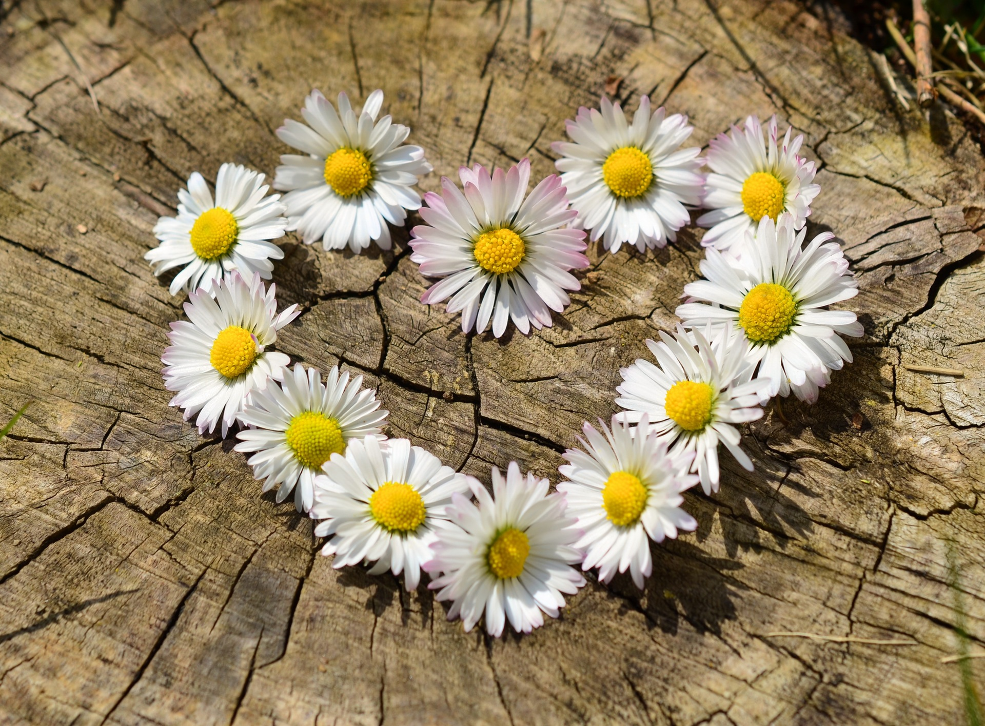 daisy-heart-flowers-flower-heart