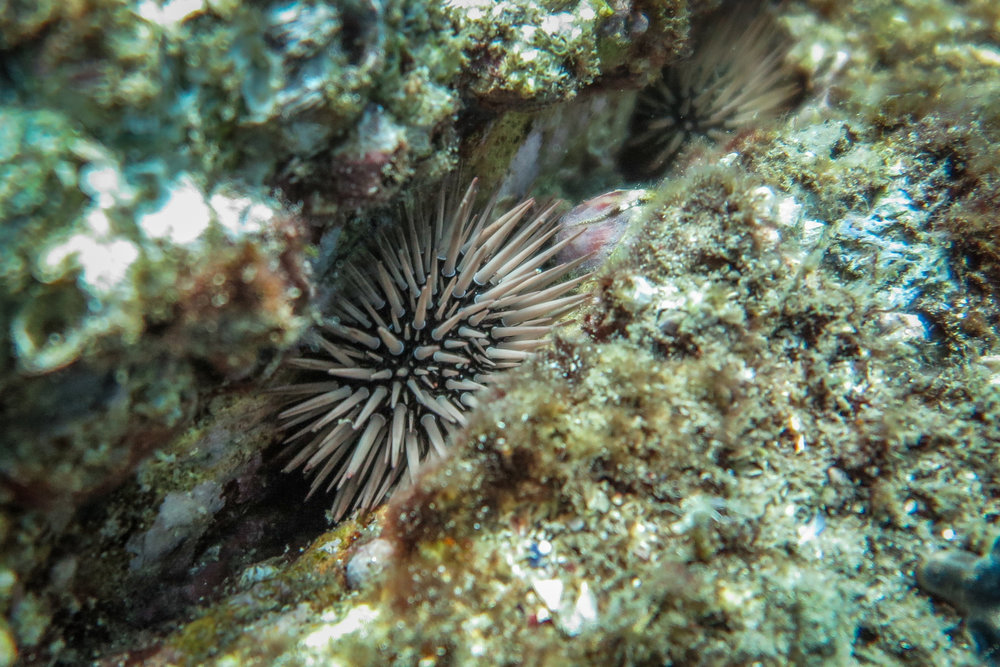 Echinometra  the boring rock urchin, snuggled away in a crevice during the day to avoid predation.