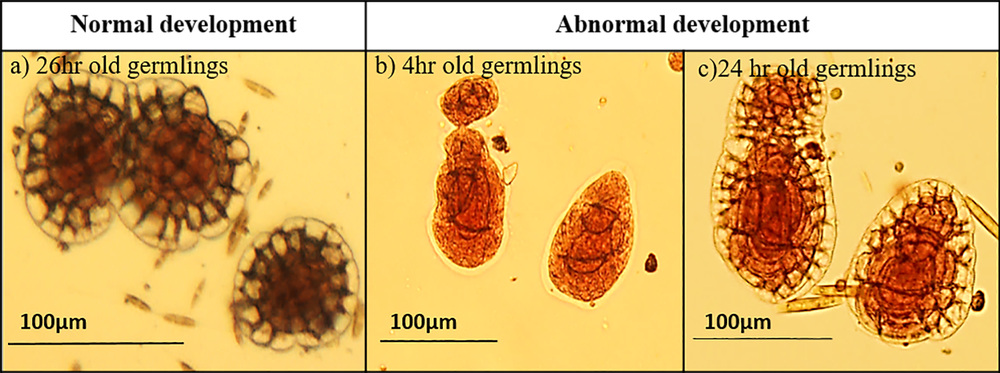 - Normal and abnormal development of germlings of the coralline algae Porolithononkodes.(a) Normal germling development refers to when cell divisions and germination disc are clearly visible and development is circular and symmetrical.(b, c) Abnormal development shows irregular and enlarged cells, particularly in cells forming the germination disc.