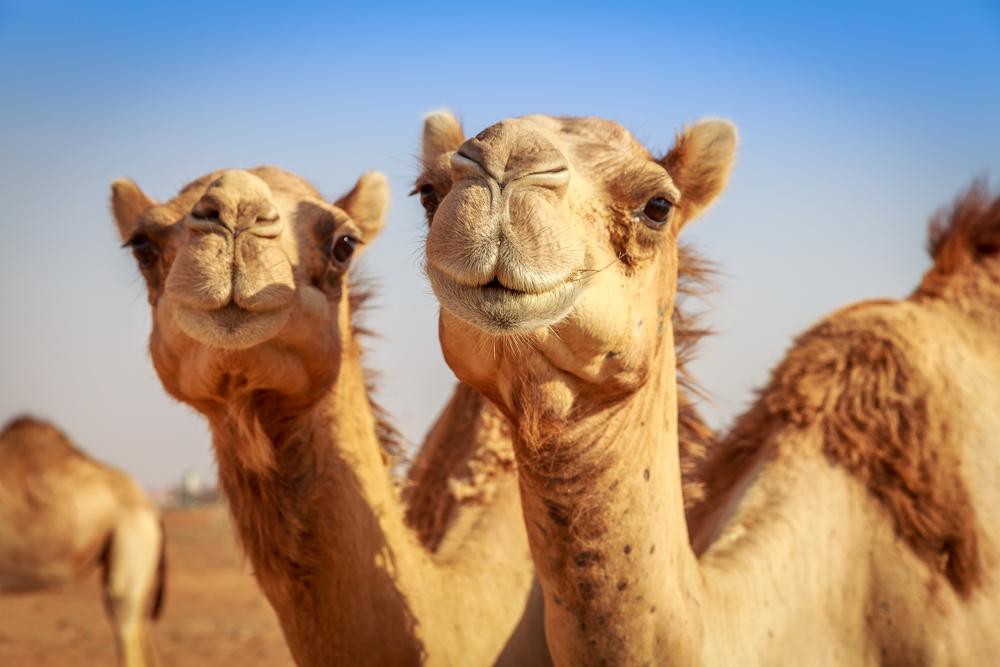 CamelsinDesert_shutterstock_193318646.jpg